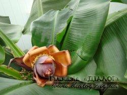 Екскурсія до бананової оранжереї Бабаєвих